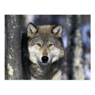 North America USA Minnesota Wolf Canis Postcard