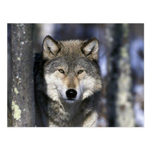 North America, USA, Minnesota. Wolf Canis Postcard