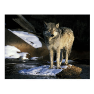 North America, USA, Minnesota. Wolf (Canis Postcard