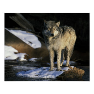 North America, USA, Minnesota. Wolf (Canis Poster