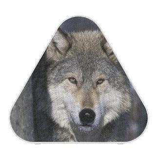 North America, USA, Minnesota. Wolf Canis Speaker