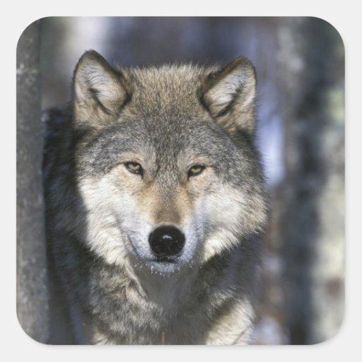 North America, USA, Minnesota. Wolf Canis Square Stickers