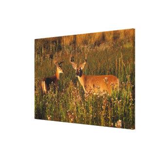 North America, USA, Montana, National Bison Canvas Print