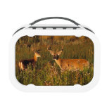 North America, USA, Montana, National Bison Lunch Boxes