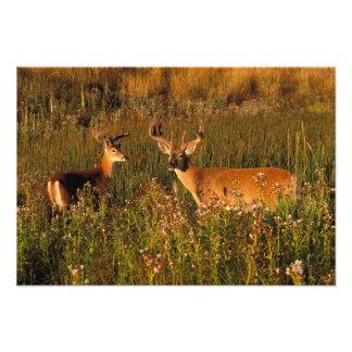 North America, USA, Montana, National Bison Photo
