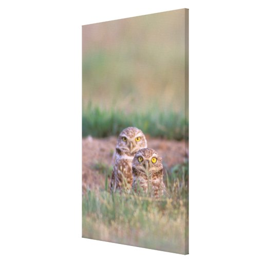 North America, USA, Oregon. Burrowing Owls 2 Stretched Canvas Print