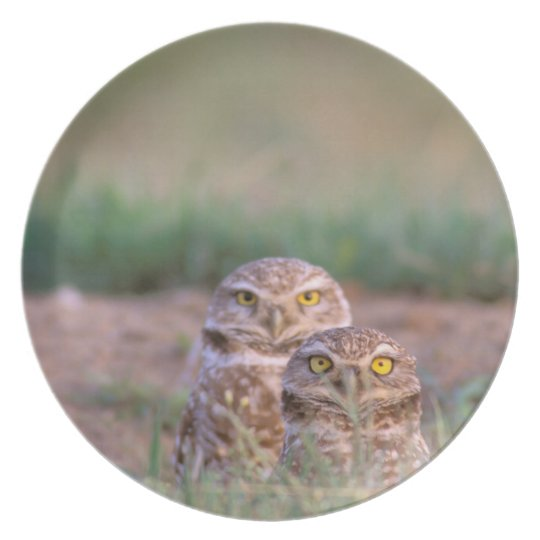 North America, USA, Oregon. Burrowing Owls 2 Dinner Plate