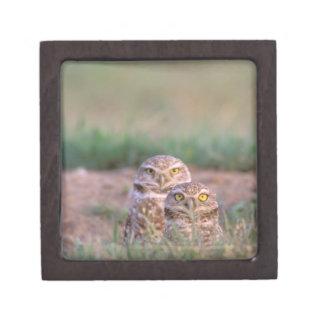 North America, USA, Oregon. Burrowing Owls 2 Keepsake Box