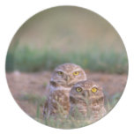 North America, USA, Oregon. Burrowing Owls 2 Party Plates