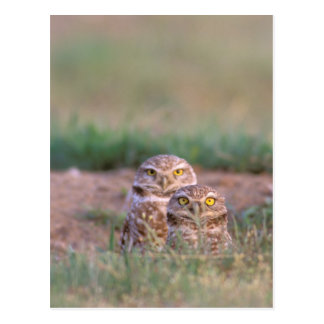 North America, USA, Oregon. Burrowing Owls 2 Postcard