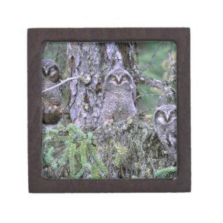 North America, USA, Oregon. Burrowing Owls 3 Jewelry Box