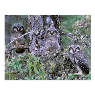North America, USA, Oregon. Burrowing Owls 3 Postcard