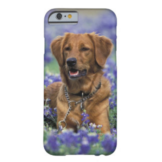 North America, USA, Texas. Golden Retriever in Barely There iPhone 6 Case