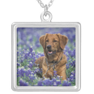 North America, USA, Texas. Golden Retriever in Silver Plated Necklace