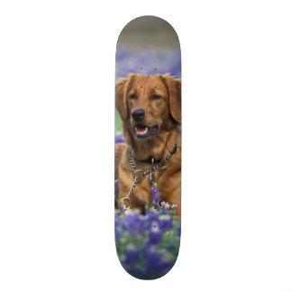 North America, USA, Texas. Golden Retriever in Skateboard Deck