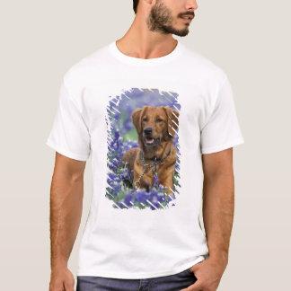 North America, USA, Texas. Golden Retriever in T-Shirt