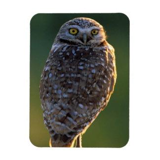 North America; USA; Washington, Burrowing Owl Magnet