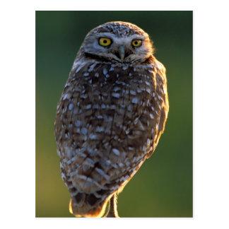 North America; USA; Washington, Burrowing Owl Postcard