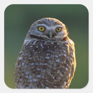 North America; USA; Washington, Burrowing Owl Square Sticker