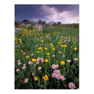 North America, USA, Wyoming, Yellowstone 2 Postcard