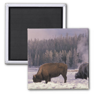 North America, USA, Wyoming, Yellowstone NP, 2 Inch Square Magnet