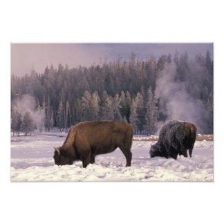 North America, USA, Wyoming, Yellowstone NP, Photo Print