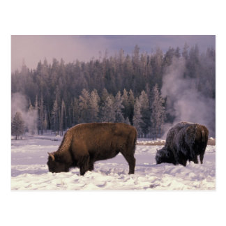 North America, USA, Wyoming, Yellowstone NP, Postcard
