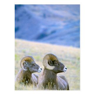 North America, USA, Wyoming, Yellowstone Postcard