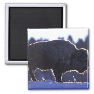 North America, Wyoming, Yellowstone National 2 Inch Square Magnet