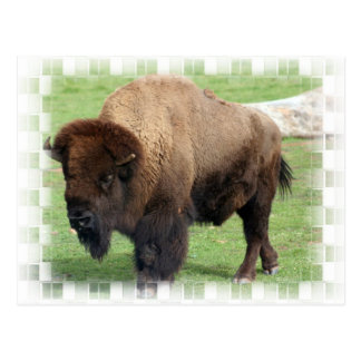North American Bison Postcard