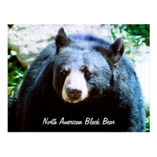 North American Black Bear Postcard