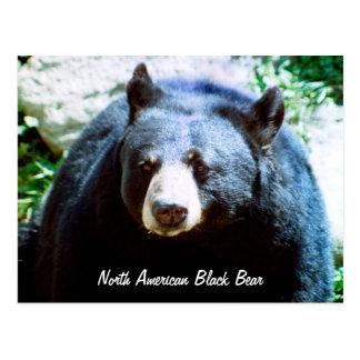 North American Black Bear Postcard