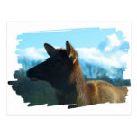 North American Elk Postcard