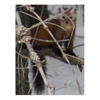 North American Pine Marten Postcard
