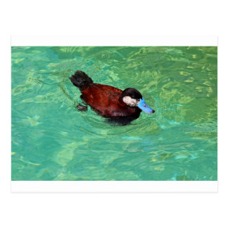 North American Ruddy Duck III Postcard
