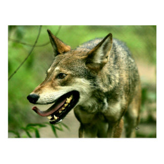 North American Sly Red Wolf Postcard