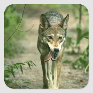 North American Sly Red Wolf Square Sticker