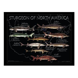 North American Sturgeon-Black Poster-Postcard