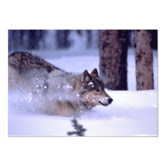 North American Timber Wolf in Snow Card