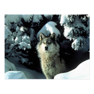 North American Timber Wolf in Snow Postcard