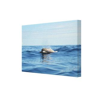 North Atlantic Bottlenose Whale Canvas Print