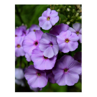 North Carolina Phlox Flowers Postcard