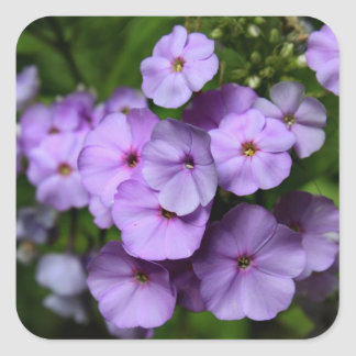 North Carolina Phlox Flowers Square Sticker