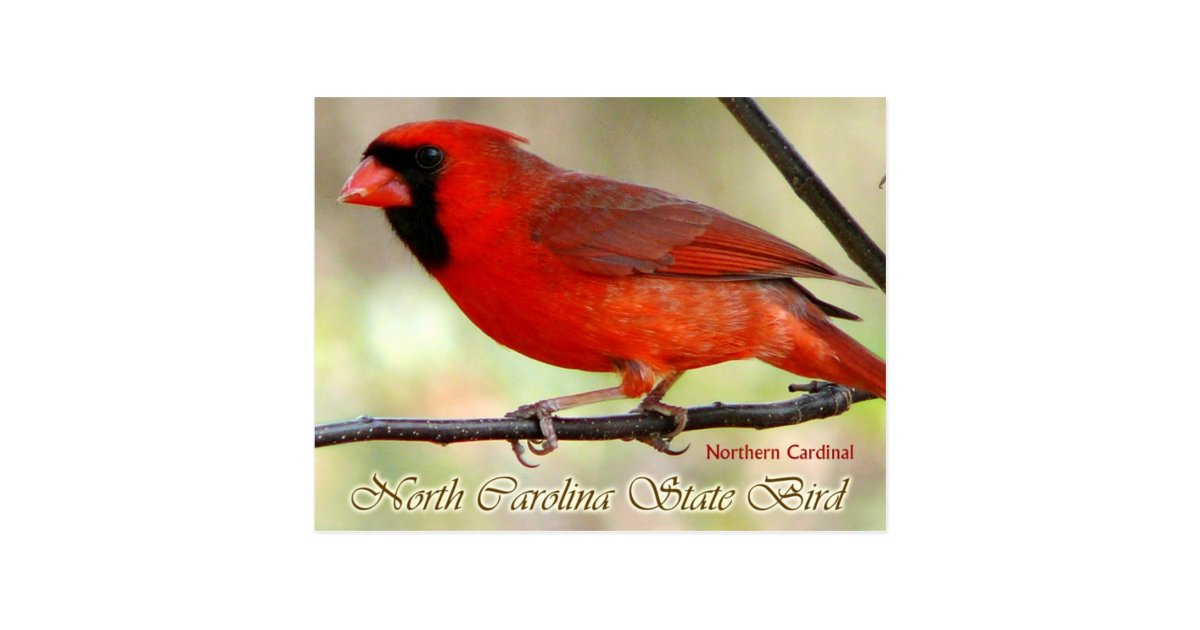 north carolina state bird northern cardinal postcard zazzlecom