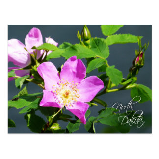 North Dakota State Flower: Wild Prairie Rose Postcard