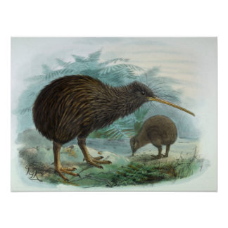 North Island Brown Kiwi Vintage Bird Illustration Poster