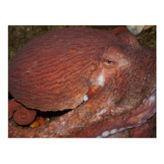 North Pacific Giant Octopus Postcard