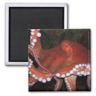 North Pacific Octopus 2 Inch Square Magnet