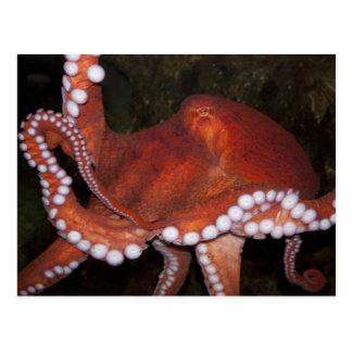 North Pacific Octopus Postcard