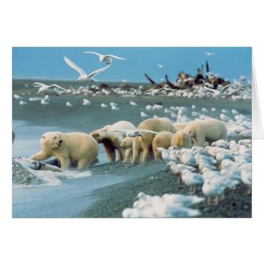 North Slope, Alaska. Polar Bears Ursus Card